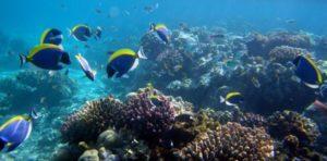 коралы