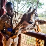 Giraffe Cantre
