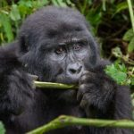Уганда - мы ищем горилл