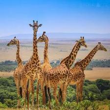 Тур в Масаи-Мара, Кения, с русскоговорящим гидом
