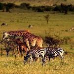 Сафари в Кении 3 дня и 2 ночи, парк Масаи Мара. Гарантированный групповой тур