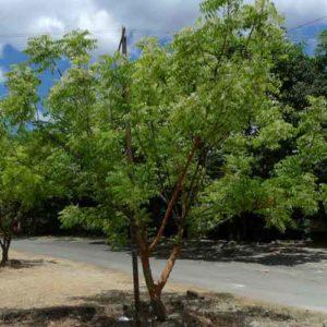Кения, дерево Ним