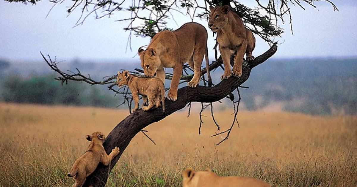 сафари в кении