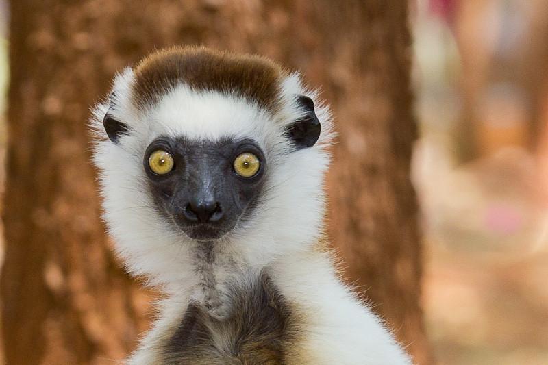 История лемуров Мадагаскара