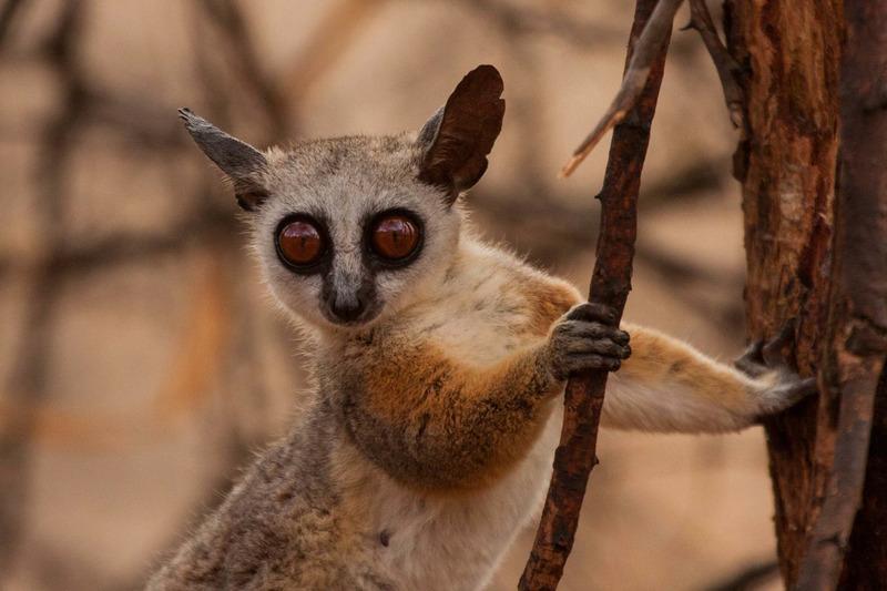Лемур на Мадаскаре