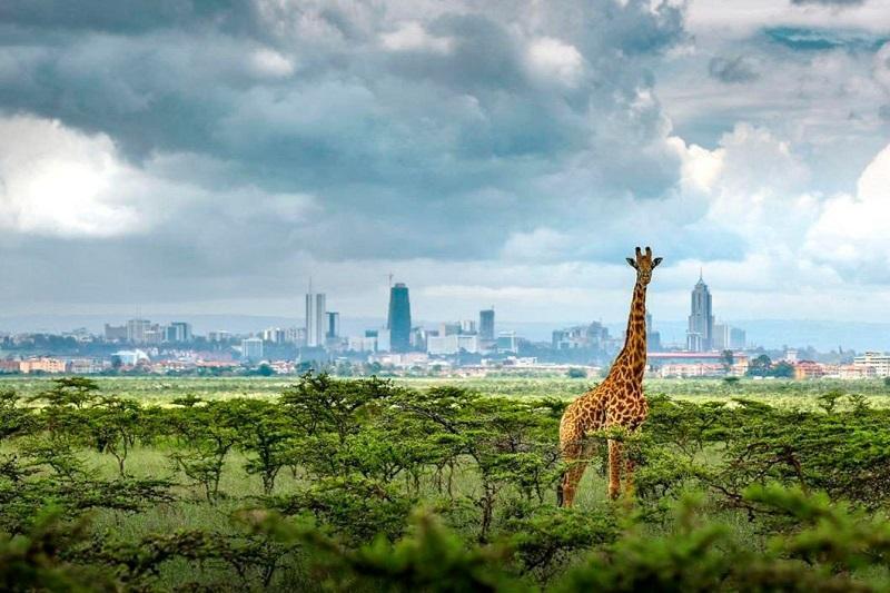 Жирафы в Найроби