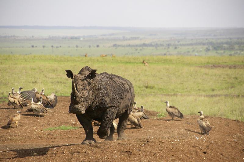 Носороги в Национальном Парке Найроби