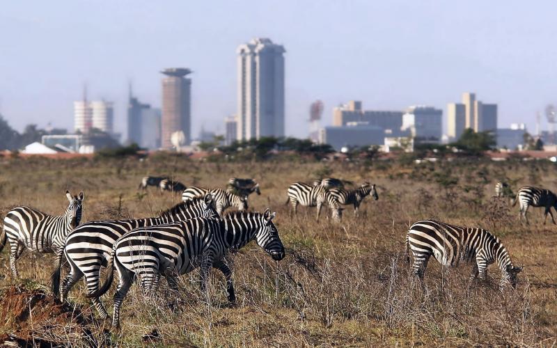 зебры в национальном парке найроби