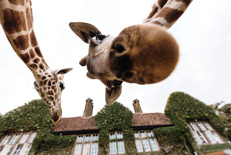 селфи с жирафами